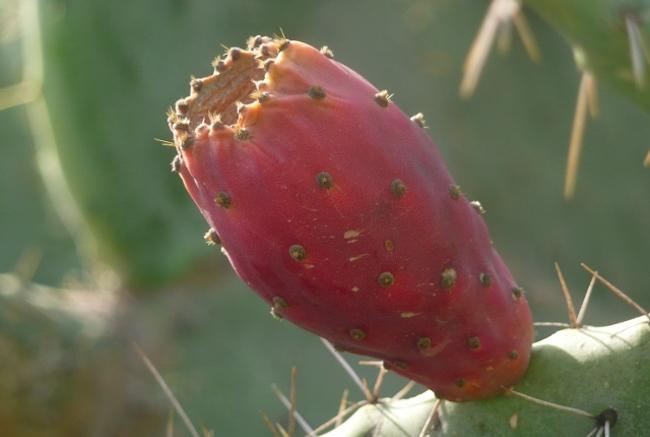 Sabra Fruit