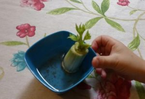 Growing celery from cuttings